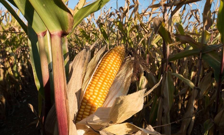 Plantação de milho. Alguns dos entrevistados disseram que o lugar mais estranho onde fizeram amor foi numa bela plantação de milho.