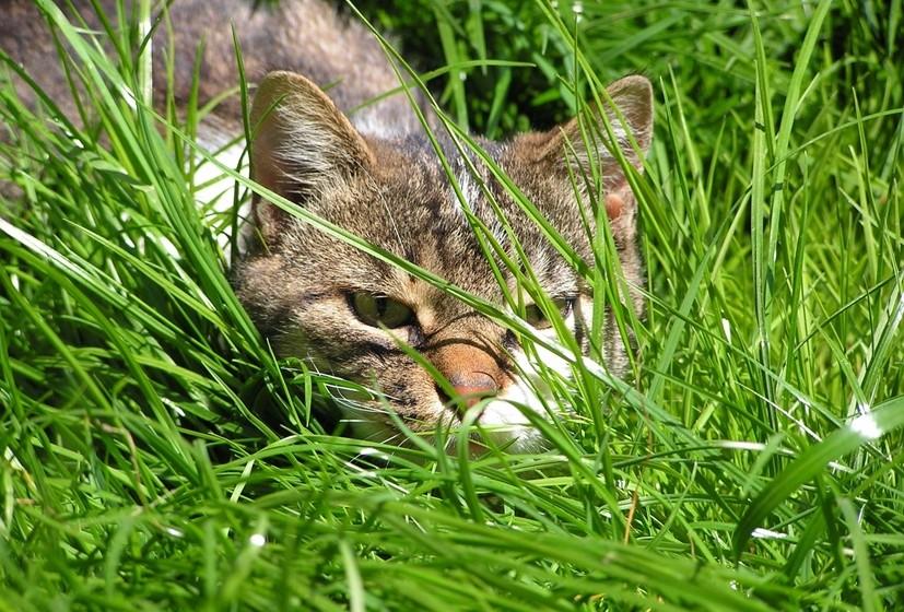 Olhos: Quando um gato abre muito os olhos, com os bigodes e as orelhas para a frente, é porque está atento. Quando o contato visual é prolongado, ou o gato está a dizer-lhe que está a observá-lo ou pode estar a ameaçá-lo. Os olhos entreabertos significam geralmente que o seu gato tem sono. Se os olhos estiverem entreabertos e o gato parece desperto, pode ser sinal de doença. Já as pupilas dilatadas podem ser sinal de que ele está alerta ou pronto a atacar.