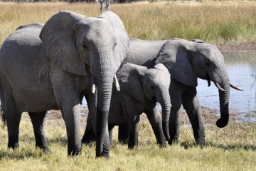 Cientistas investigam porque é que os elefantes não têm cancro