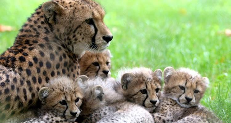 Chitas do Jardim Zoológico com cinco novos bebés