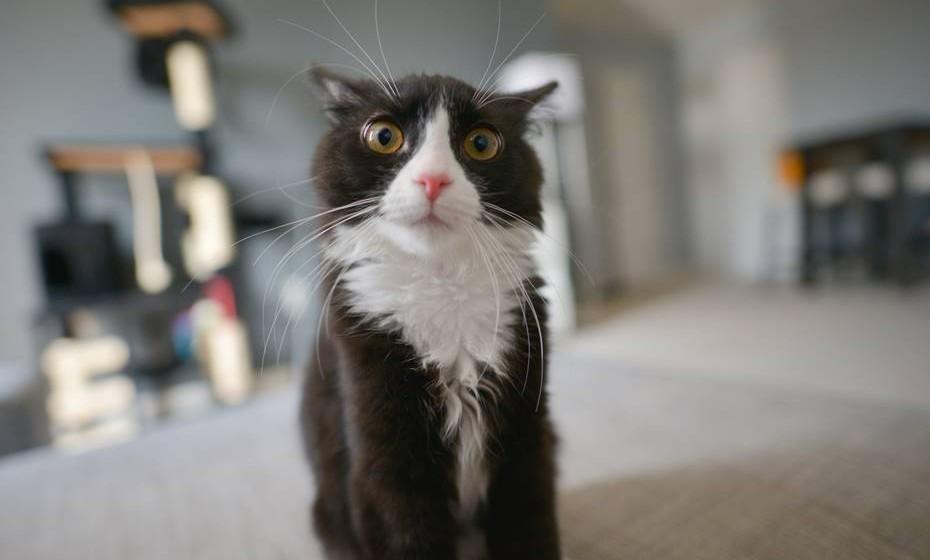 Orelhas: Se estas estão viradas para a frente é geralmente sinal de que o animal está relaxado ou a explorar o território. As orelhas viradas para trás nunca trazem boas notícias: ou o gato está assustado ou em posição de ataque.