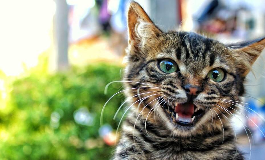 Boca: Quando o gato mostra os dentes e bufa, está claramente em posição de agressão. Se bocejar, ou está cansado ou apenas muito descontraído. Mais interessante é quando ele entreabre a boca para analisar os aromas.