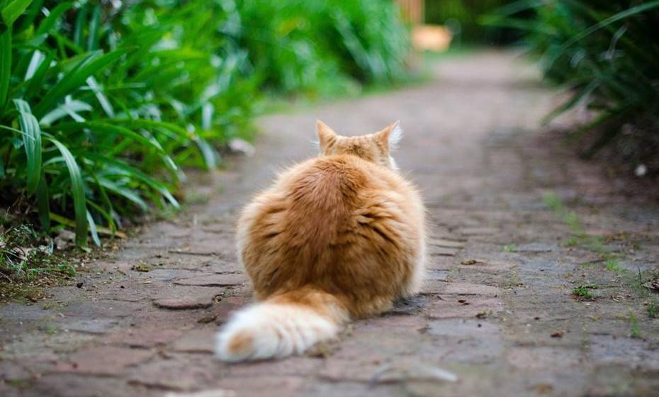Comecemos por analisar a posição dos vários elementos físicos do seu gato. Cauda: A cauda é um exemplo perfeito da complexidade da linguagem corporal do gato e funciona como uma espécie de barómetro do seu estado de espírito. Se a cauda estiver inchada, pode significar que o gato está excitado ou com raiva; a cauda levantada com uma curvatura do lombo diz-nos que ele está perante uma ameaça; a cauda esticada e a movimentar-se suavemente significa felicidade; a cauda a mexer rapidamente de um lado para o outro é sinal de raiva e, se a dormir e a mexer a cauda lentamente, é porque está a sonhar.