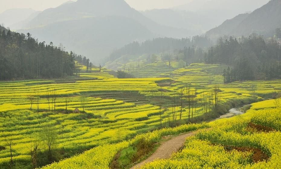 """Luoping, China - Estas terras dramáticas e montanhosas no leste da China tornam-se um """"mar de ouro"""" na época das flores de colza."""