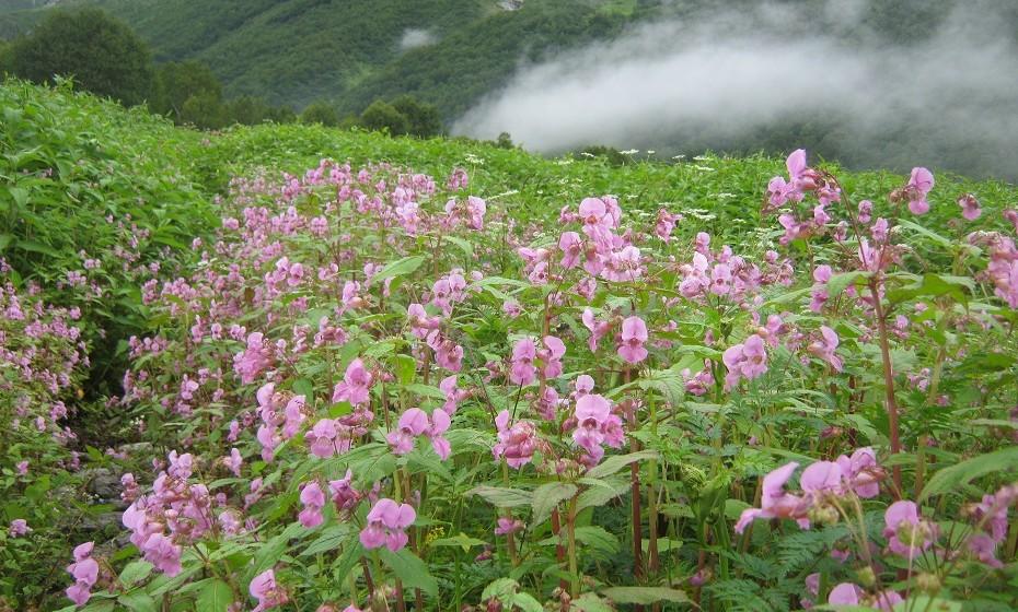 Vale de flores do Parque Nacional, India - Situado no oeste dos Himalaias, é conhecido pelos seus prados de flores.
