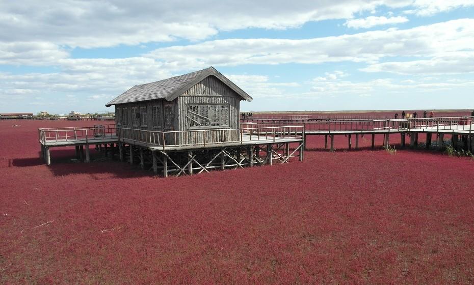 Red Sea Beach, China – O solo altamente alcalino permite o florescer destas plantas vermelhas, que se chamam 'sueda'.
