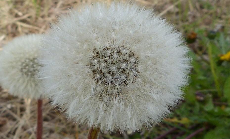 Trata alergias. O pólen reduz a presença de histamina, fator que melhora muito as alergias. Citado pelo 'Food Matters', o médico Leo Conway conta que 94 por cento de seus pacientes, após terem sido alvo de um tratamento com administração oral de pólen, «já não apresentam sintomas de alergia». Desde a asma à sinusite, todas as alergias foram contempladas, confirmando assim que o pólen de abelha é, verdadeiramente, eficaz contra um vasto leque de doenças respiratórias.