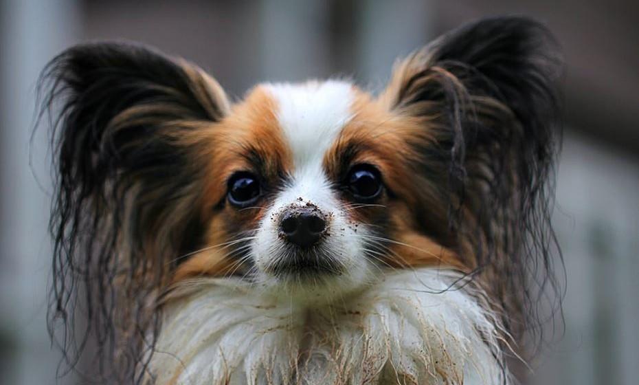 Ouvidos: Devemos prestar especial atenção aos ouvidos, sobretudo se o cão tem orelhas grandes, caídas e peludas, pois são pouco arejadas. Mesmo os cães de orelhas curtas e espetadas necessitam de cuidados. Com a falta de limpeza é natural encontrarem-se pêlos no interior que provocam uma oxigenação deficiente e uma acumulação de sujidade que poderá inflamar o ouvido ou até degenerar uma otite. Para evitar esta situação devemos fazer limpeza auricular com alguma frequência.