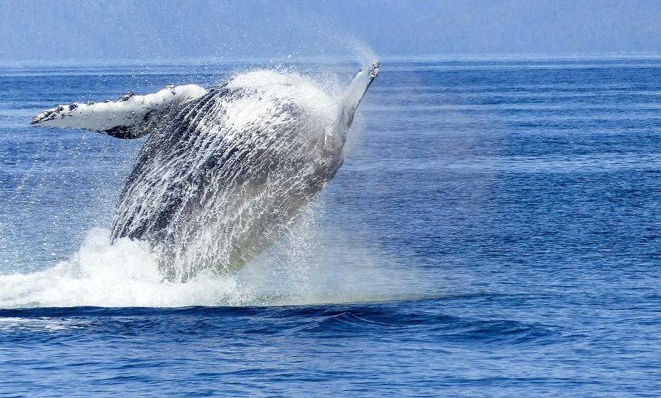 Viaje até ao Havai e conheça as Baleias-Jubarte. Um dos melhores locais para observá-las é na ilha havaiana de Maui, perto de Wailea e Lahaina. Terá a oportunidade de ver uma mãe-baleia a ensinar o seu filhote a saltar na água.