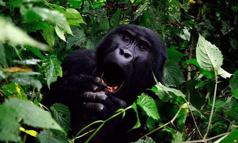 Visite a Montanha dos Gorilas no Parque Nacional Impenetrável de Bwindi, Uganda. Este é o lar de muitos gorilas que restam na selva. Pode ser difícil enfrentar um local fechado e suar muito na caminhada, mas a recompensa será poder ficar cara a cara com estes gigantescos animais.