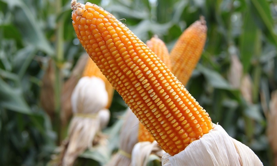 Nem todos os grãos contêm glúten como é o caso do milho, do arroz e de alguns tipos de aveia. Estes grãos, geralmente, não provocam uma reação em indivíduos com doença celíaca ou com sensibilidade ao glúten.