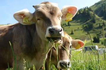 Leite e carne biológicos mais saudáveis que os de cultura convencional
