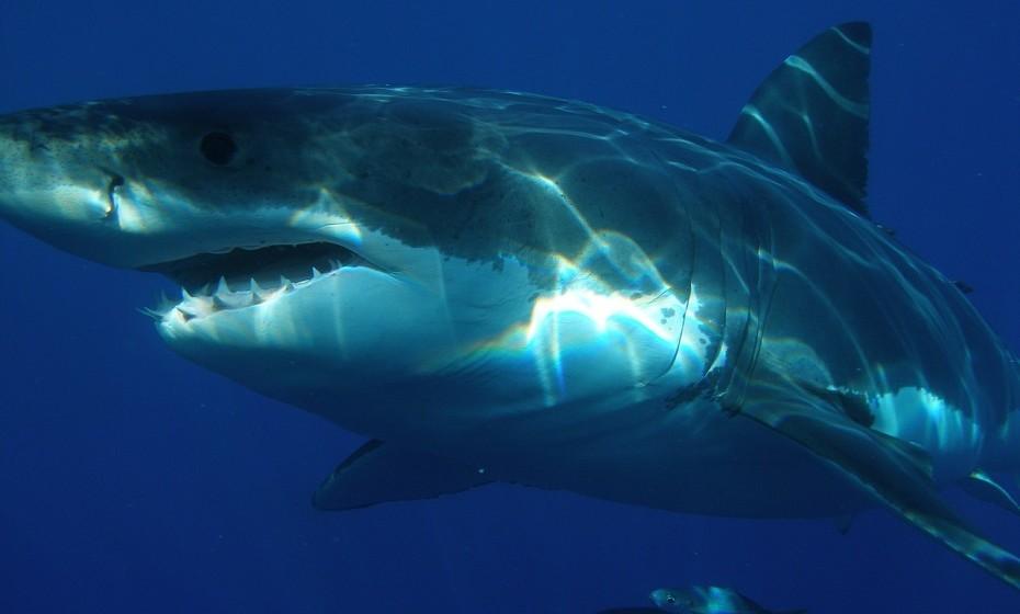 Os tubarões também podem ter cancro.