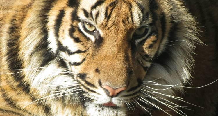 Tigre Jardim Zoológico