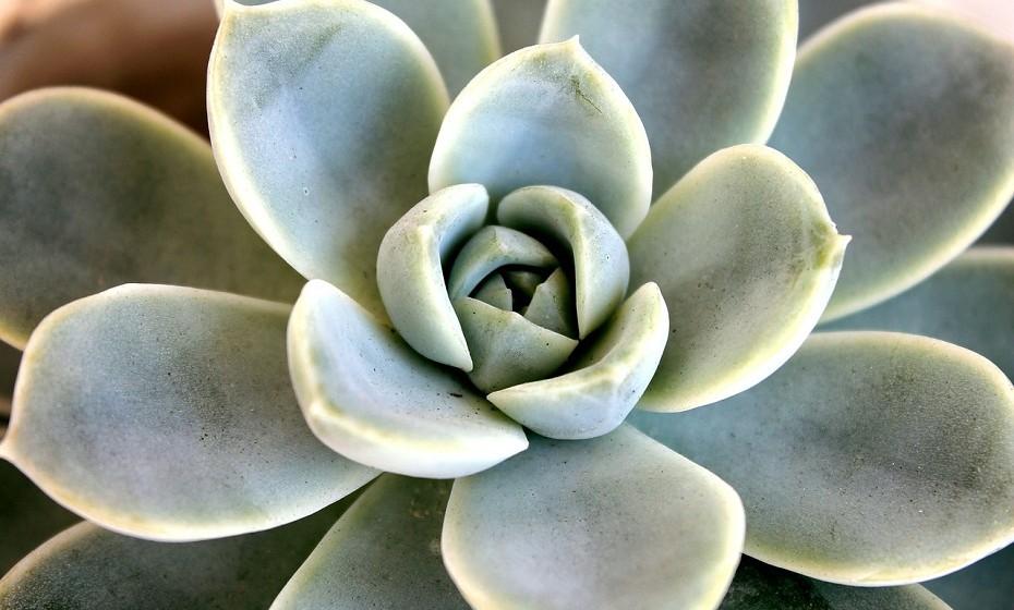 A rosa de pedra compõe arranjos lindos. Deve ser regada apenas uma vez por semana, porque as folhas e o caule acumulam água e a humidade em excesso pode apodrecer as suas raízes. Não deve estar em contacto com sol direto, mas precisa de um lugar ligeiramente iluminado.