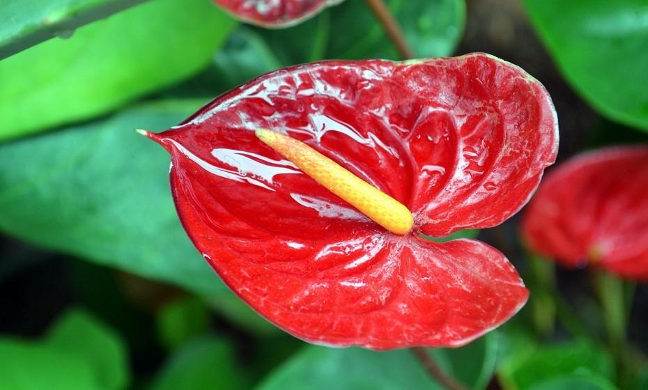 Antúrio de flores vermelhas é uma planta muito comum na casa dos portugueses. É fácil de cuidar e é conhecida pela sua capacidade de combater a poluição, pois absorve o amoníaco e o xileno. Deve ser regada moderadamente e, na primavera e no verão, deve dar um pouco de adubo líquido de 15 em 15 dias.