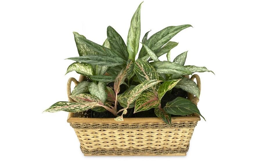 A dieffenbachia é uma planta interior que gosta de luz. Deve ser regada com regularidade, mas deixando sempre a terra secar entre cada rega.