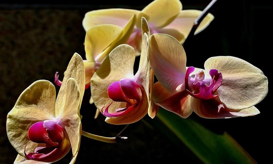 A orquídea borboleta amarela apresenta um caule praticamente nulo com folhas largas e suculento. Não molhe demais, apenas verifique se não está muito seca e regue, variando a quantidade, conforme a época. O excesso de água pode apodrecer as raízes.