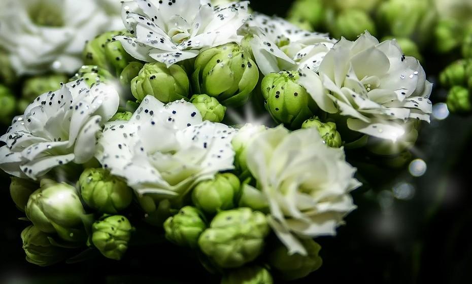 O kalanchoe é uma planta perfeita para ter dentro de casa – suculenta, fácil de cuidar e muito decorativa. Regue apenas quando o solo está seco e se as folhas mostrarem sinais de que estão a murchar.