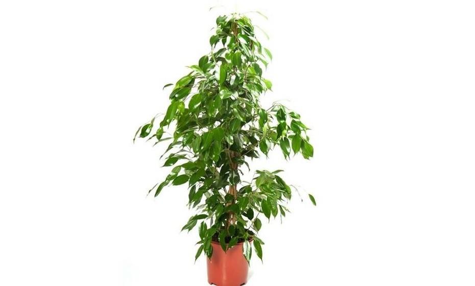 A folhagem brilhante da ficus benjamina embeleza qualquer ambiente. É uma planta eficaz contra a poluição, incluindo contra o amoníaco, o formaldeído, o xileno e o tolueno. Deve estar num lugar luminoso e ser regada com moderação.