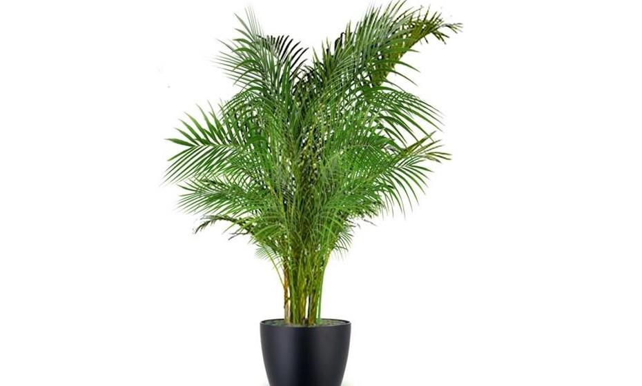 A palmeira anã é ideal para jardins pequenos. É uma planta muito resistente, mas deve-se proteger com um véu de proteção no inverno. O seu crescimento é lento, o que favorece o aparecimento de rebentos.
