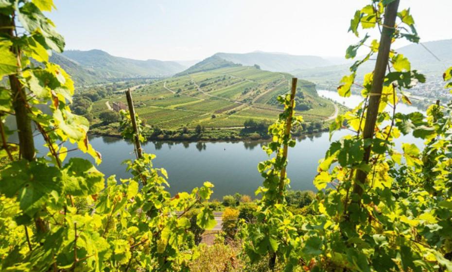 Moselle Valley, Alemanha. Os gradientes quase verticais tornam o trabalho nas vinhas perigoso, e até mesmo as caminhadas podem ser traiçoeiras nesta área. As vinhas adoram o solo em torno do rio Moselle, isto permite-lhes crescer e absorver os minerais que se refletem no sabor do vinho.
