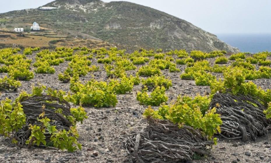 Santorini, Grécia, é o lar de nove variedades de uva indígena, incluindo a famosa Assyrtiko. O que é particularmente único na elaboração do vinho em Santorini é a forma como as videiras são torcidas para formar uma coroa de flores, para proteger as uvas que crescem no centro dos ventos fortes que se fazem sentir.
