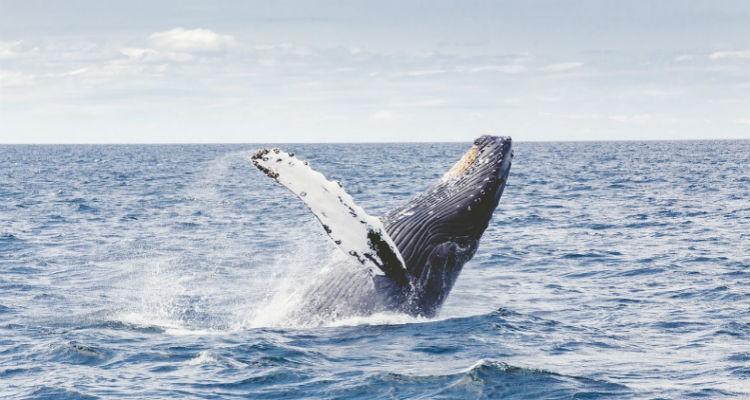Baleias fazem luto como os seres humanos