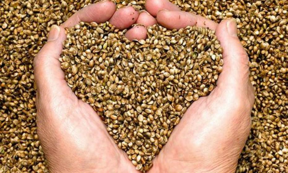 As sementes de cânhamo são uma variedade da planta cannabis sativa, mas não tem THC (substância psicoativa), por isso a sua utilização é totalmente segura. Estas sementes contêm 10 gramas de proteína completa e de fácil digestão por cada 28 gramas – muito mais do que as sementes de linhaça e de chia.