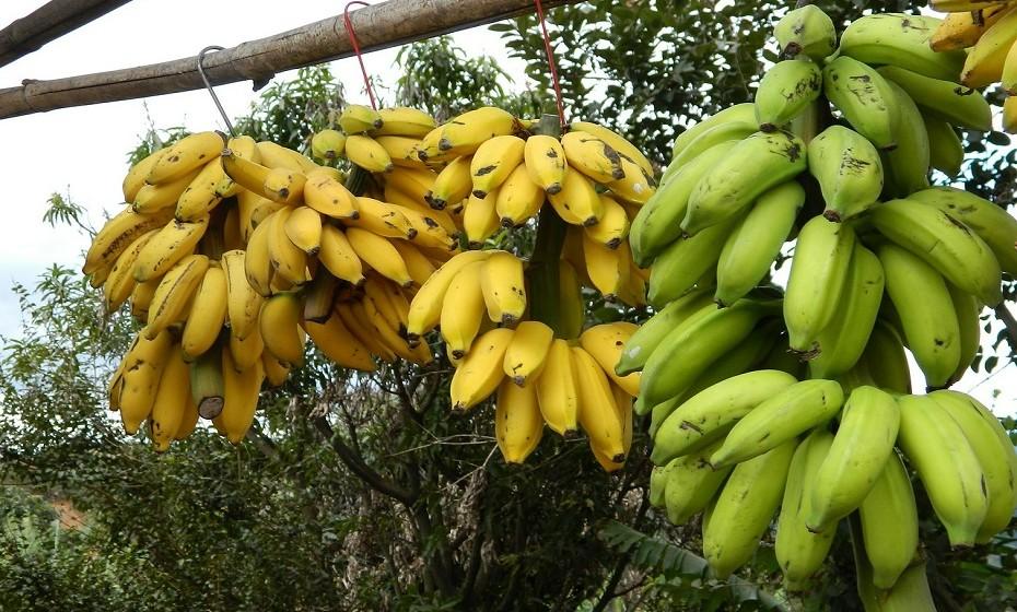 As bananas são tipicamente colhidas quando ainda estão verdes. Este método ajuda a garantir que não fiquem maduras antes de serem compradas. Em comparação com as amarelas, as bananas verdes são mais amargas, a textura é mais firme e têm um composto de amido mais elevado. Além disso, as bananas verdes são mais difíceis de descascar.