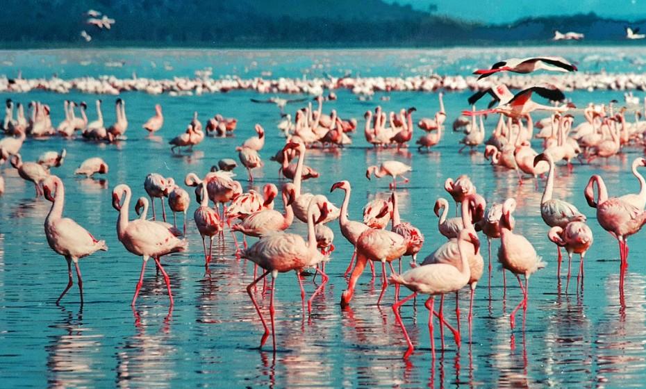 No Lago Nakuru, no Quénia, está o Grande Vale do Rift, que abriga um dos maiores espetáculos de aves no planeta, com centenas de milhares de flamingos cor-de-rosa que procuram por algas na água.