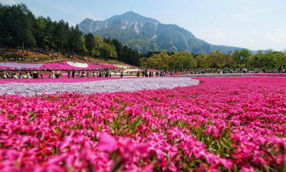Hitsujiyama Park, Japão, é somente incrível. O seu solo está coberto por uma manta de rosa, branco e magenta devido a umas flores designadas shibazakura. Aqui vivem cerca de 400 mil flores dispostas em padrões arrojados.