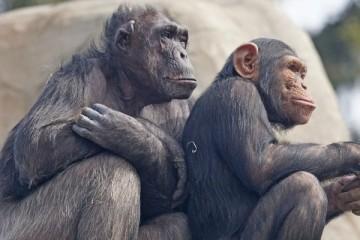 Chip implantado em macacos restaura paralisia
