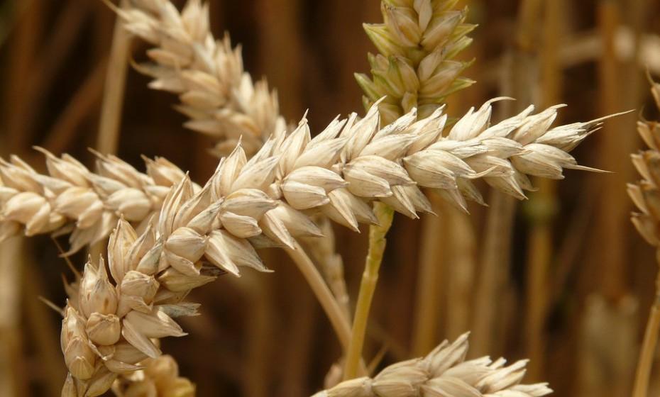 Alergia ao trigo é uma resposta alérgica a uma das proteínas encontradas no trigo. Como outras alergias, esta pode resultar em sofrimento digestivo, urticária, vómitos, erupções cutâneas, inchaço e, em casos graves, anafilaxia. É muitas vezes confundida com a doença celíaca e sensibilidade ao glúten, que pode ter sintomas digestivos semelhantes.
