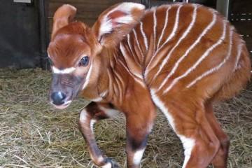 Nova cria de bongo nasce no Jardim Zoológico