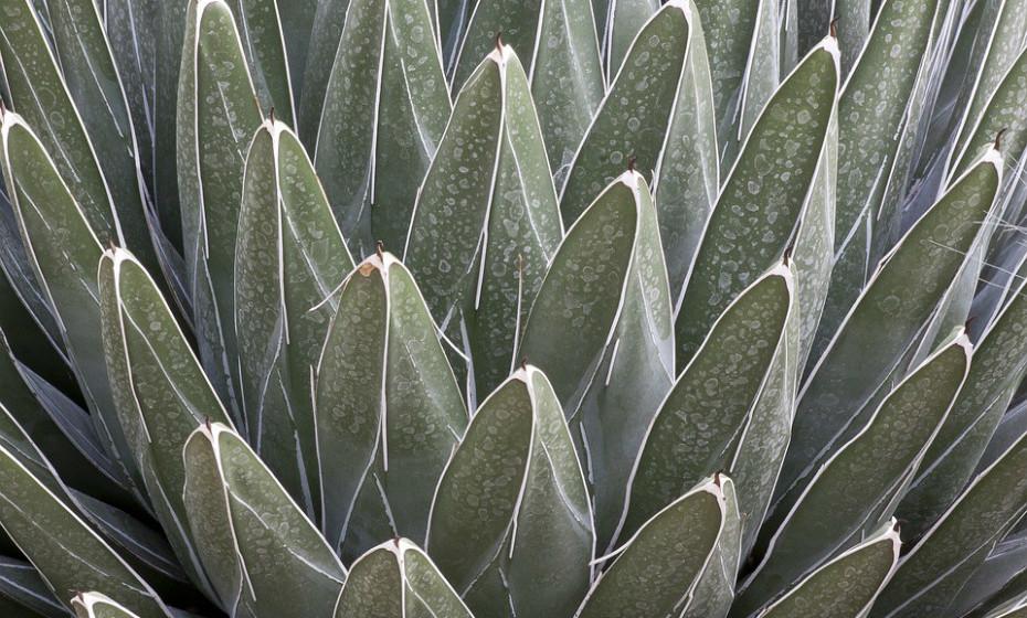 O xarope de agave é produzido através da planta de agave. É habitualmente comercializado como uma alternativa saudável ao açúcar, mas é justamente o contrário. É composto por 85% de frutose, valores muito mais altos dos encontrados no açúcar convencional. Esta associado a doenças como obesidade. Fonte: Authority Nutrition