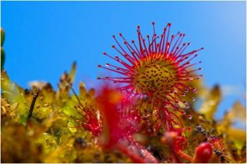 Uma planta carnívora parece um contrasenso da natureza, mas um estudo de colaboração internacional explica porque certas plantas tiveram de desenvolver este 'gosto'. Conheça também algumas destas plantas que habitam no imaginário de medo na cabeça das pessoas.