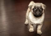 Saiba como interpretar as expressões faciais dos caninos, segundo o 'Whole Dog Journal'. Tenha em mente que ao tirar conclusões sobre as expressões faciais de um cão é importante juntar a informação que lhe é dada através da linguagem corporal, a fim de obter toda a mensagem.