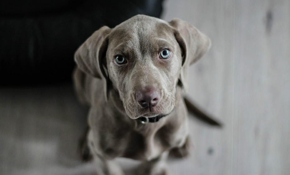 Os olhos de um cão, como os de um ser humano, são capazes de transmitir uma infinidade de significados e emoções. Este é um cão social confiante e amigável. Os olhos são redondos ou em forma de amêndoa e macios, com as pupilas dilatadas adequadas à iluminação disponível. Muitas vezes acompanhado por uma cauda relaxada e corpo curvado.