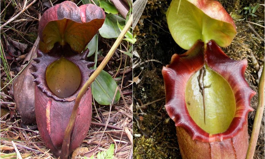 Nephentes Rajah é originária da ilha de Bornéu. Alimenta-se de insetos e, para tal, utiliza um jarro anexo nas suas folhas. Estão entre as maiores espécies de plantas carnívoras conhecidas e, em casos mais raros, podem atingir até meio metro de altura.