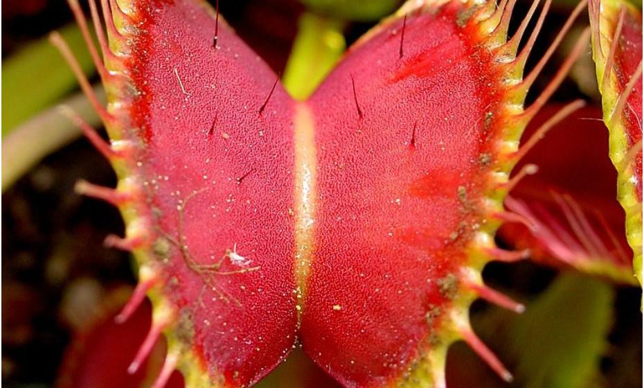 Dionaea muscipula é pequena em relação a outras espécies, pois chega no máximo a 10 cm de altura. No entanto, é extremamente eficiente e ágil na captura de insetos. Movimenta-se rapidamente e leva 0,3 segundox para capturar as presas. Além de invertebrados, pequenos sapinhos e lagartixas também podem cair na emboscada preparada por esta espécie.