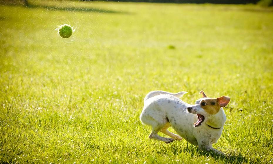 As várias posições das orelhas também são indicativos de emoções. Um cão está excitado e alerta quando tem as orelhas para cima e eretas. Se os olhos estiverem calmos e o corpo movimentado então está feliz e excitado, mas se o olhar for duro e o corpo estiver tenso então está num estado de alerta e potencialmente agressivo.