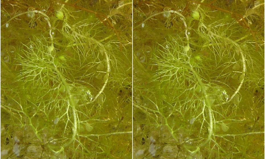 Utricularia engloba diversas espécies, entre elas, algumas aquáticas que se alimentam de pequenos crustáceos. São grandes e podem atingir vários metros de profundidade. Conseguem capturar diversas presas de uma só vez. A sua aparência é a de uma massa de filamentos.