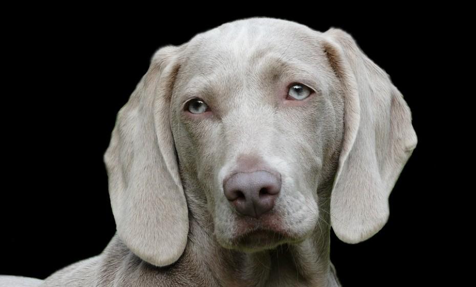 Um cão de orelhas caídas, como que penduradas, e paralelas ao rosto canino significa simplesmente que o animal está descontraído.
