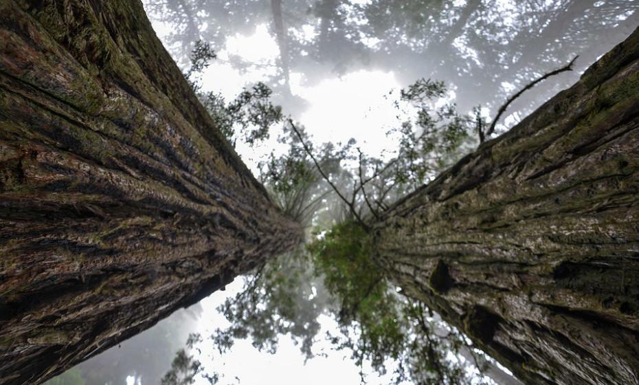 Localizado dentro da Floresta de Redwood de Rotorua, o Redwood TreeWalk, na Nova Zelândia, é o maior passadiço suspenso do mundo, composto por 23 pontes suspensas elevadas e plataformas com gigantescas sequóias iluminadas. Esta experiência permite que caminhe através da vegetação cintilante, enquanto está suspensa a 82 metros acima do chão da floresta.