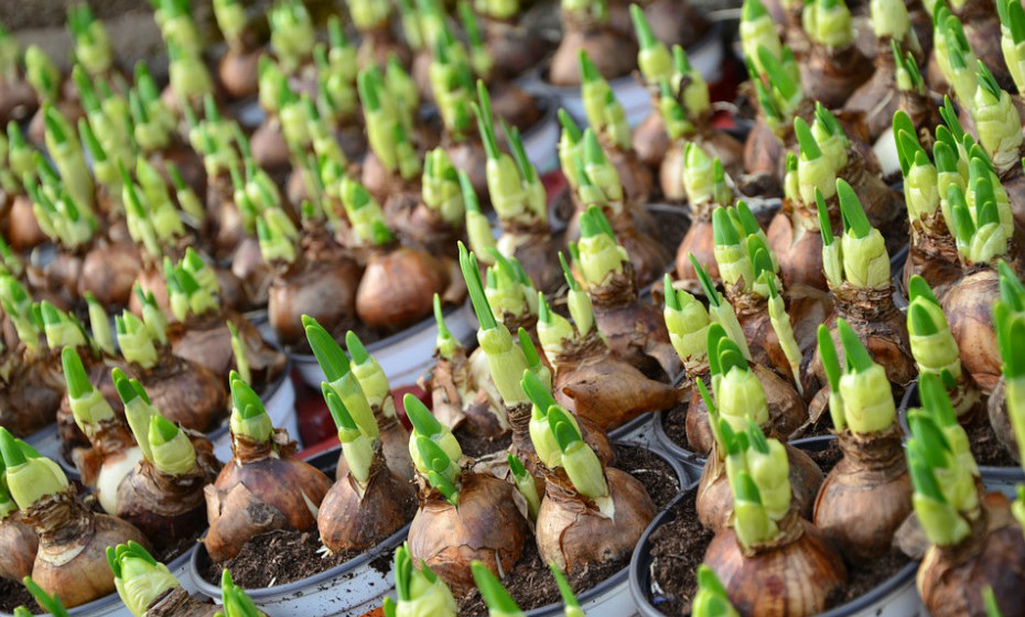Algumas flores e bolbos, incluindo crisântemos, lírios peruanos e bolbos de tulipa e narciso, contêm produtos químicos que podem irritar a pele ou resultar numa reação alérgica. Além disso, algumas plantas utilizadas como alimentos picantes, como pimentão e rábano, contêm produtos químicos que podem causar irritação na pele.