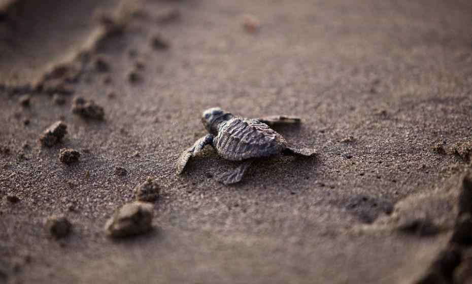 Depois de ver tartarugas bebés em ação em Antígua, uma ilha no Mar das Caraíbas, vai esquecer todo o sono que tinha por se ter levantado a meio da noite. Durante a temporada de assentamento de tartarugas (de junho a novembro), os hóspedes podem inscreverem-se para o 'relógio de tartaruga', isto é, para receberem uma chamada para acordarem e saírem da cama para ver as tartarugas.