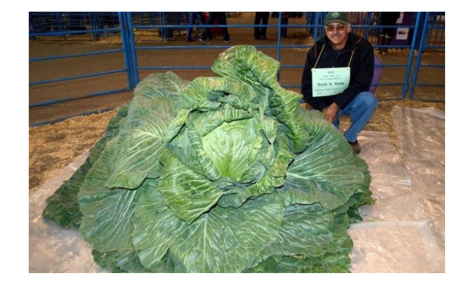 O repolho mais pesado do mundo pesa 62,71kg e foi apresentado na feira Alaska State Fair por Scott A. Robb, no Alasca, EUA, a 31 de agosto de 2012.