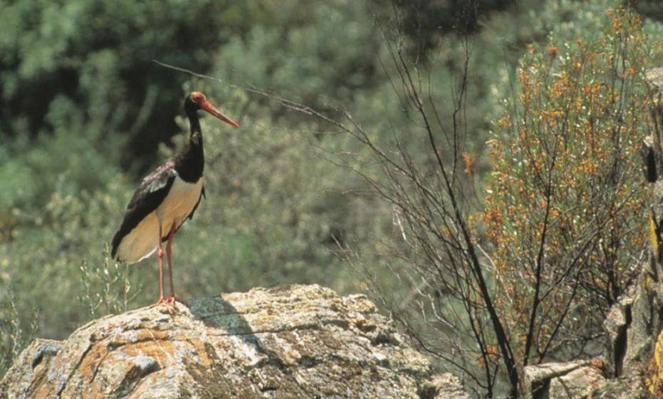 Parque Natural do Tejo Internacional: Abrange uma área em que o rio Tejo constitui a fronteira entre Portugal e Espanha. A sua vegetação inclui bosques de sobreiros e azinheiras e galerias de salgueiros ao longo dos rios. Apresenta uma abundância de nidificação de aves,e abriga, inclusive, populações de cegonhas-pretas, uma espécie rara em Portugal.