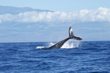 A CNN divulgou um guia dos dez melhores lugares no mundo para avistar estes gigantes dos mares, por tipo de baleia e por época do ano. Se este é um dos seus sonhos, veja de seguida. Os Açores estão incluídos, claro.